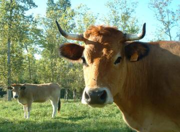 [reproduction] Corne d'appel (de chasse) Chouanne / Vendéenne Vaches10