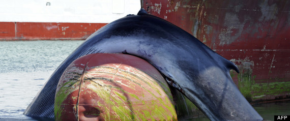 Pauvres baleines R-bale10
