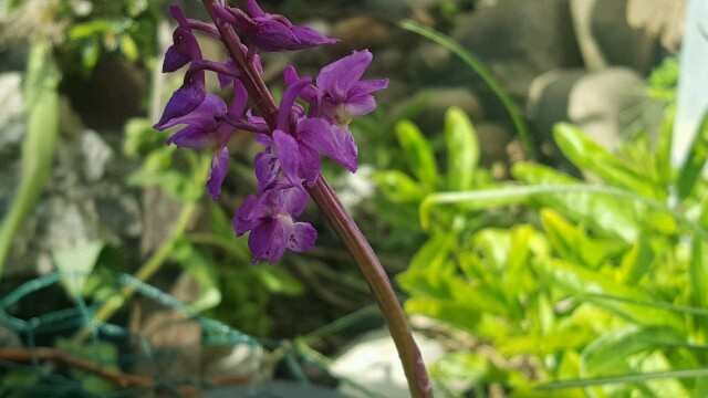 Orchis 2016 20160513