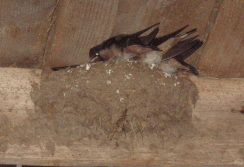 Des locataires saisonniers : hirondelle rustique/ H. rustica Aronde10