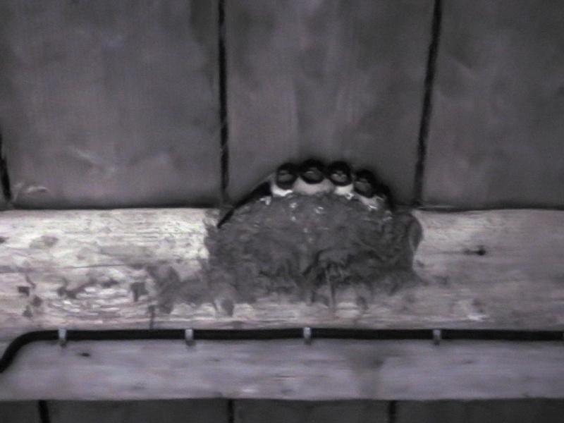 Des locataires saisonniers : hirondelle rustique/ H. rustica Aronde11