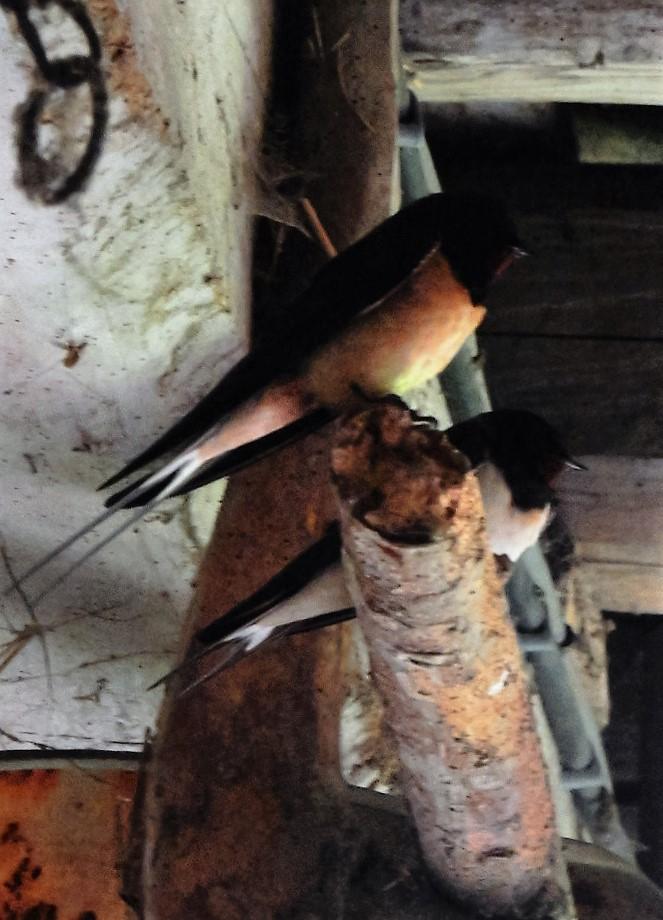 Des locataires saisonniers : hirondelle rustique/ H. rustica Dscn4610