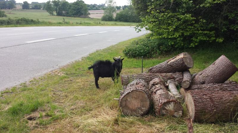 HELP !!! SOS pour une chèvre ou bouc  ? 20160511