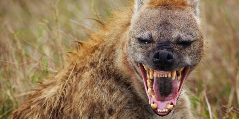 Les membres en animaux, c'est cool. Hyene10