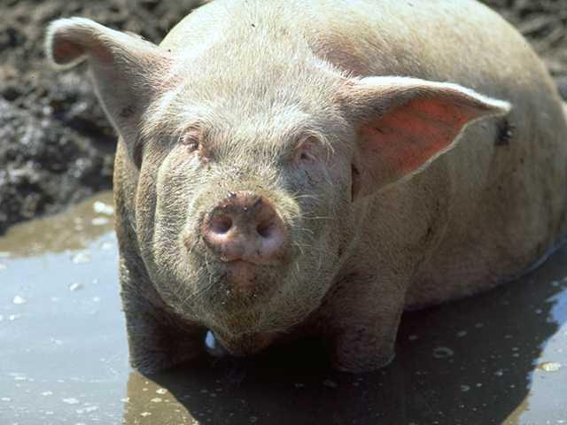Les membres en animaux, c'est cool. Porc11