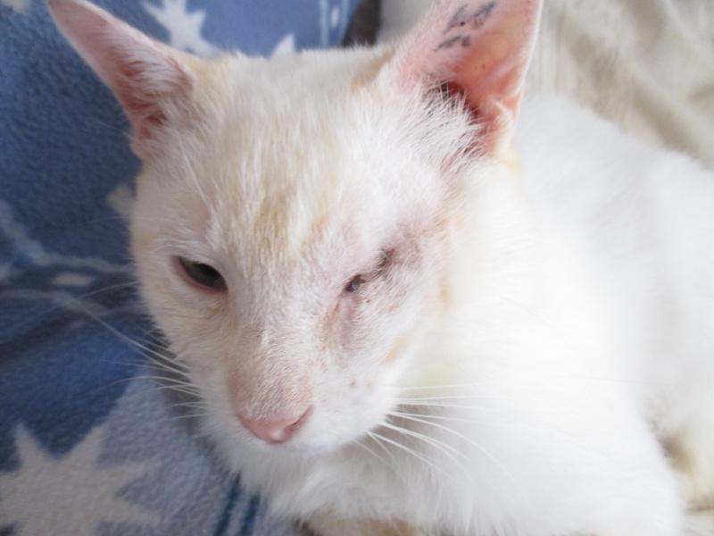 """lancome - Lancôme, jeune chat mâle crème """"red point"""", né en novembre 2015, EN DON LIBRE Img_4512"""