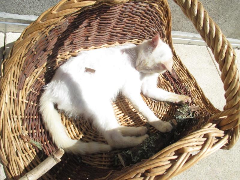 """lancome - Lancôme, jeune chat mâle crème """"red point"""", né en novembre 2015, EN DON LIBRE Img_4514"""