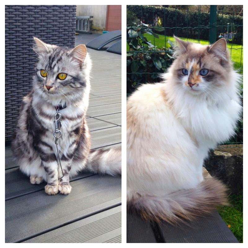 louna - LOUNA, chatonne tigrée claire, née le 01/06/2015 V_0e6b11