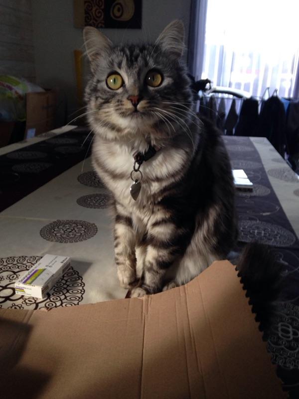 louna - LOUNA, chatonne tigrée claire, née le 01/06/2015 V_152c10