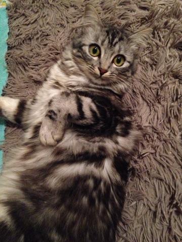louna - LOUNA, chatonne tigrée claire, née le 01/06/2015 V_3bda10