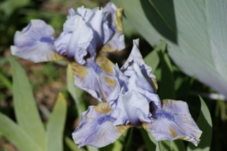 Iris nains 2016 00410