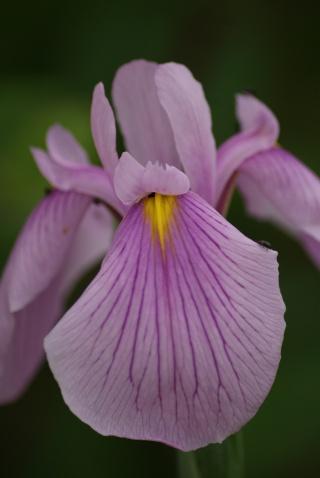 Iris ensata (= Iris kaempferi) - iris du Japon 00411