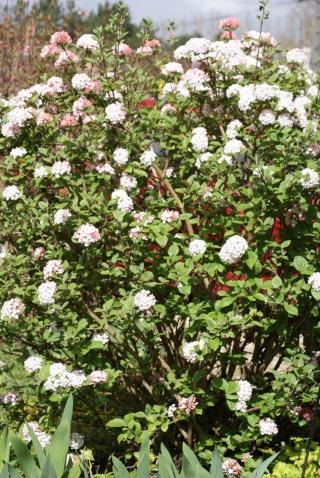 avril, jardin fébrile - Page 2 03611