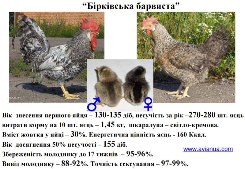 Борковская барвистая порода яичних кур - Страница 8 01688410