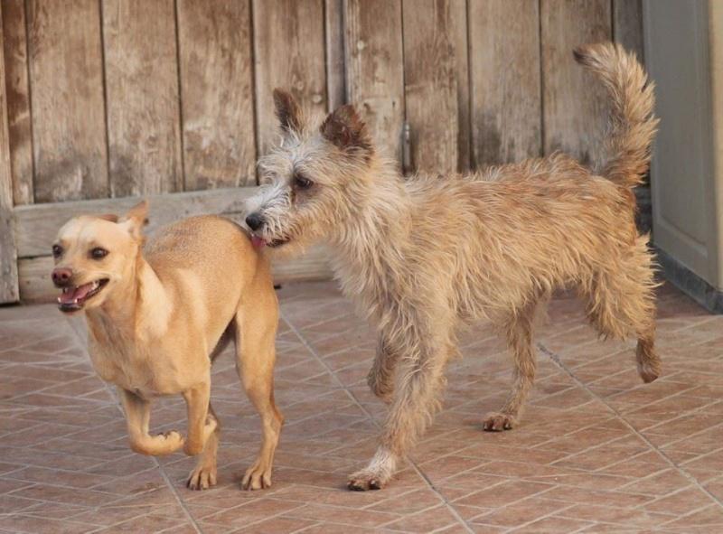 CINDY, petite chienne 35 cm 4 ans 13055510