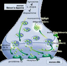 Production, transmission, régulation et destruction de la dopamine