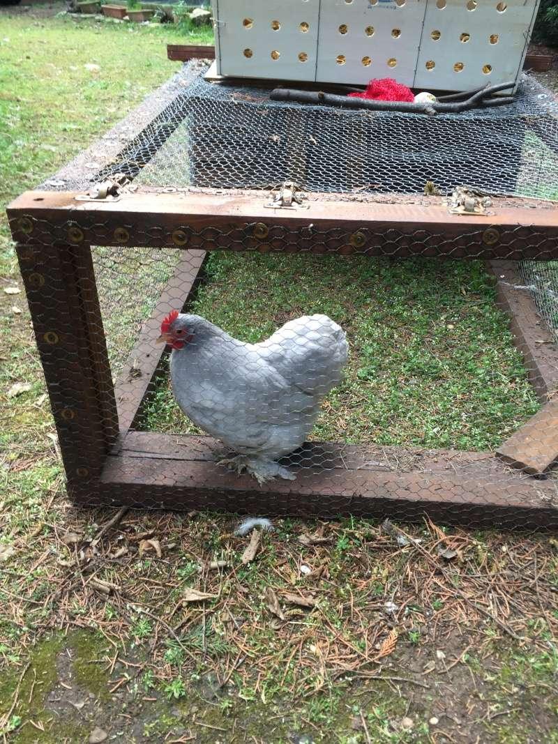 Intégrer une nouvelle poule Img_3410