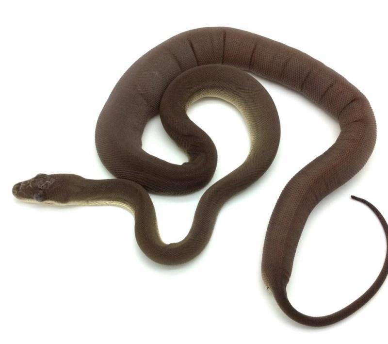 La maintenance des serpents en Amérique du nord 10342910