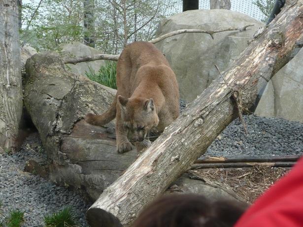 Zoo de paris / Avril 2016 Cougar10