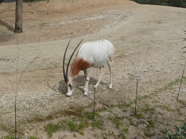 Zoo de paris / Avril 2016 Oryx10