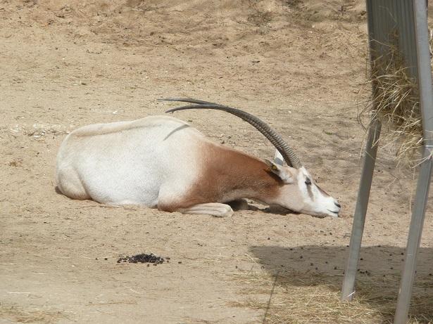 Zoo de paris / Avril 2016 Oryx_q10