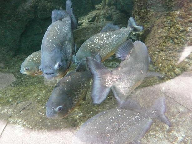 Zoo de paris / Avril 2016 Piranh10