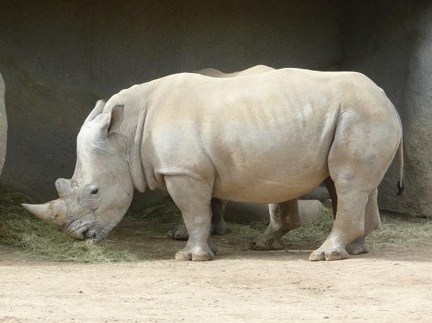 Zoo de paris / Avril 2016 Rhino_10