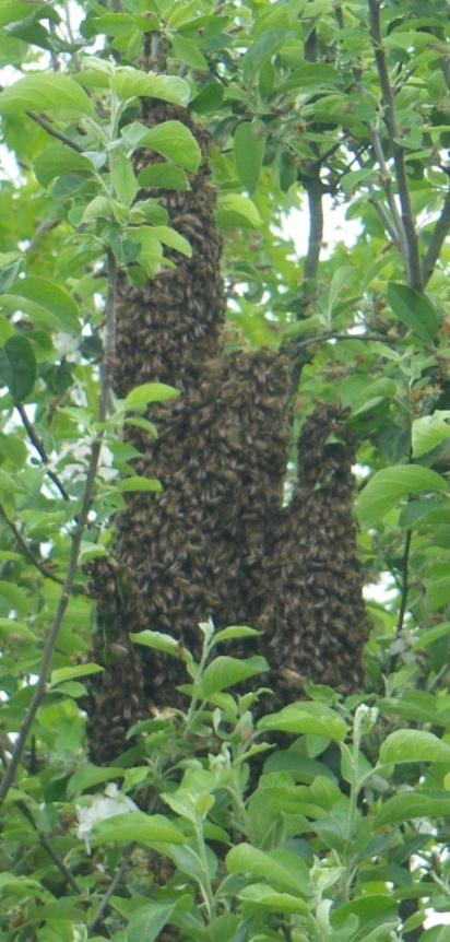 photos d'essaims d'abeilles 2013 Copie_10