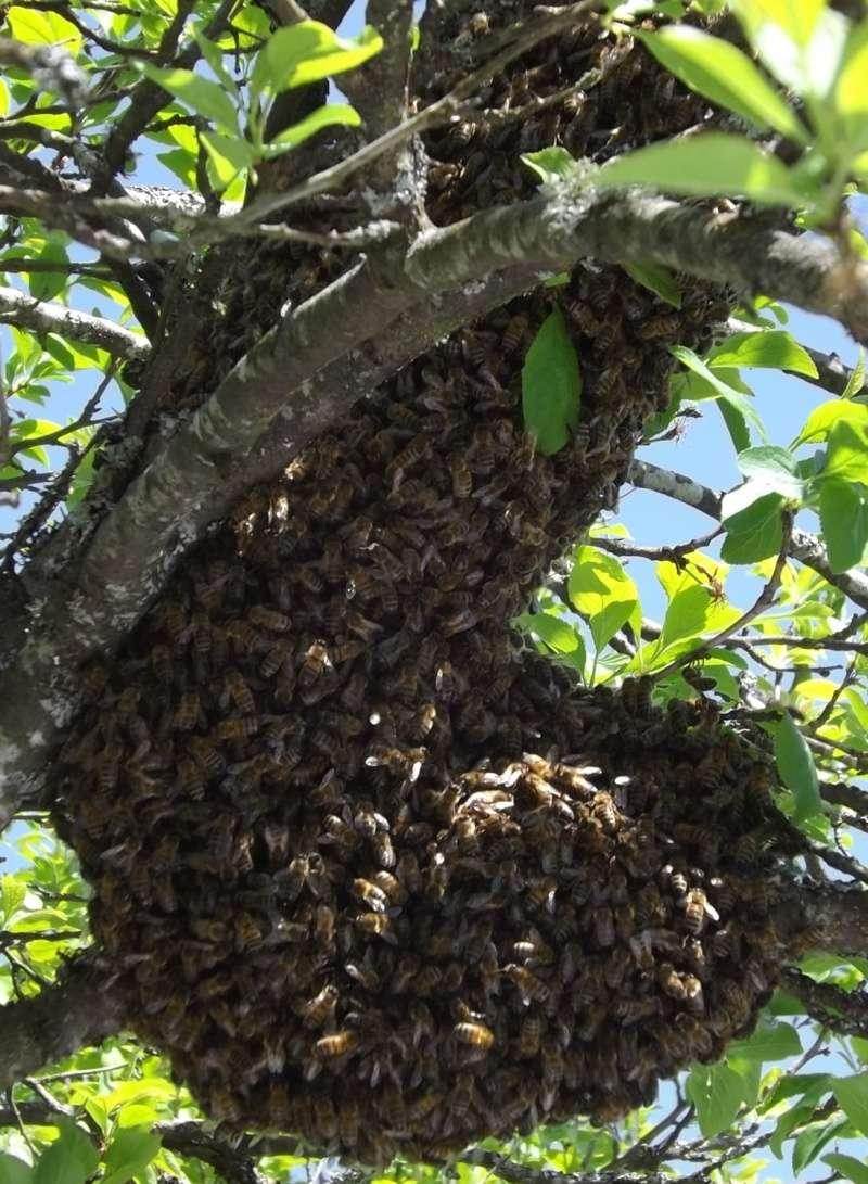 photos d'essaims d'abeilles 2013 Copie_11