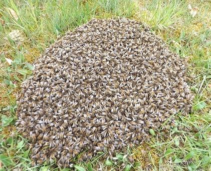 photos d'essaims d'abeilles 2013 Dscf2910