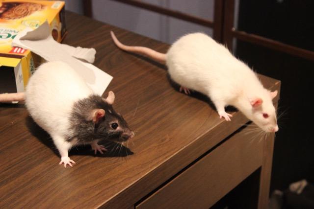 adoption de deux adorables ratounes d'un an et demi Img_8710