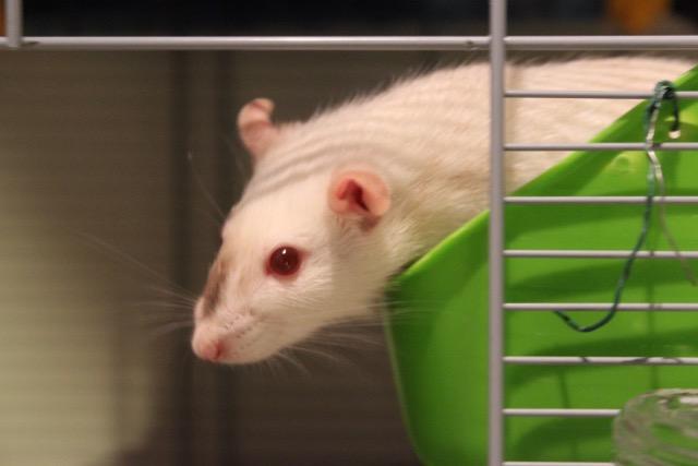 adoption de deux adorables ratounes d'un an et demi Img_8712