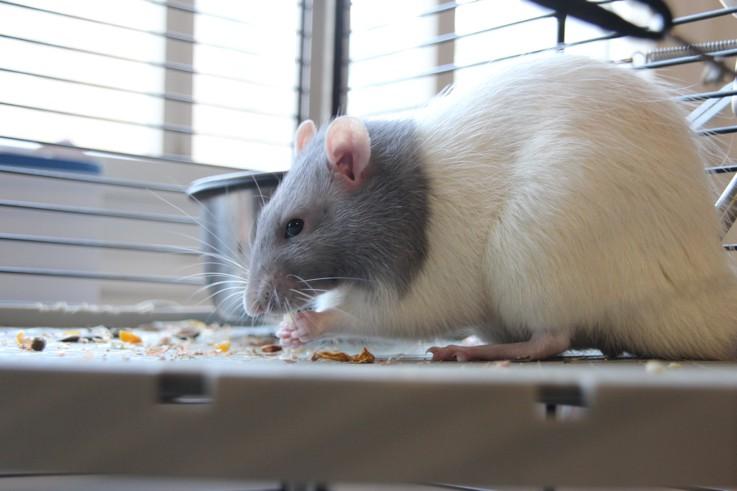Et voici notre bébé Rat des champs : Ratatouille  - Page 37 Img_4010