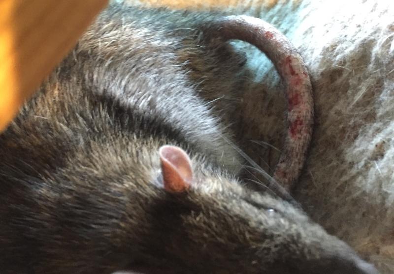 Et voici notre bébé Rat des champs : Ratatouille  - Page 37 Queue_10