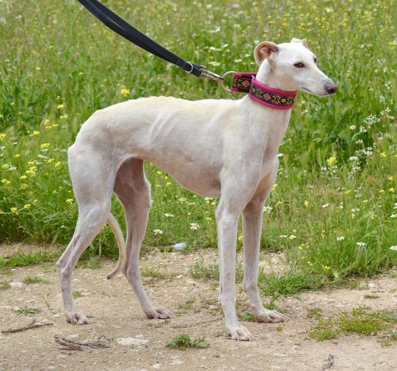 AMINA Galga née en septembre 2012 Amina410