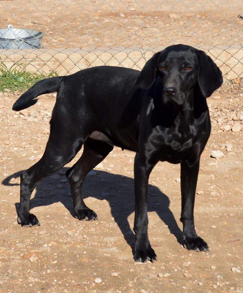 AURA Croisée Labrador ADOPTEE autre ASSO Aura110