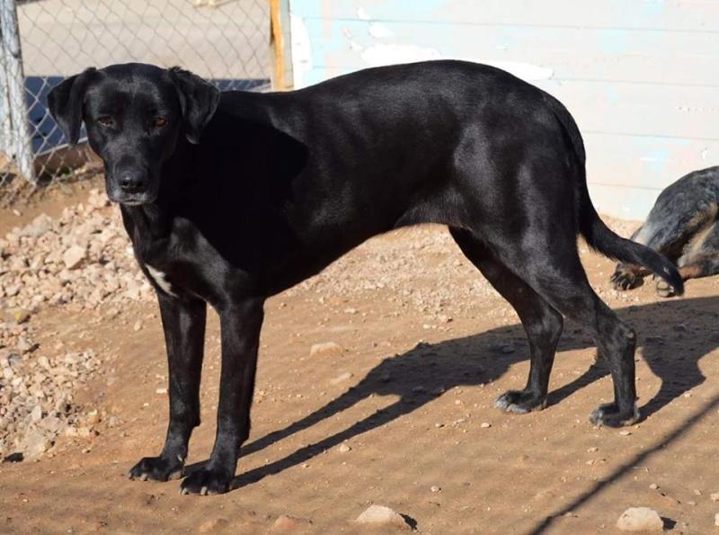 BRIZNA femelle croisée Labrador née le 19/03/2011 Brizna12