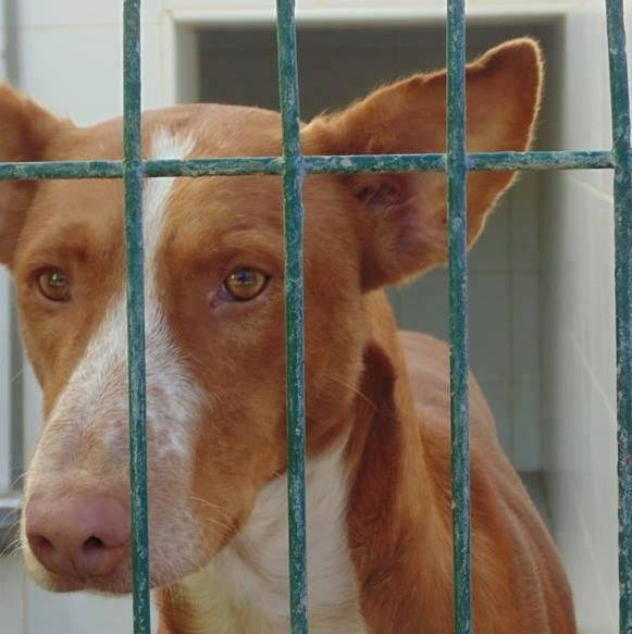 WIND , podenco tendresse 3 ans /  en accueil Wind110