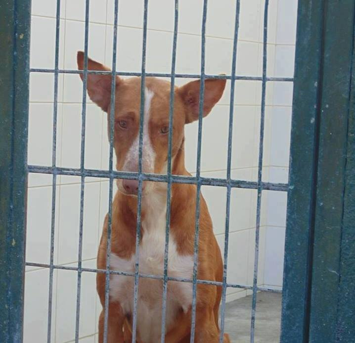 WIND , podenco tendresse 3 ans /  en accueil Wind210