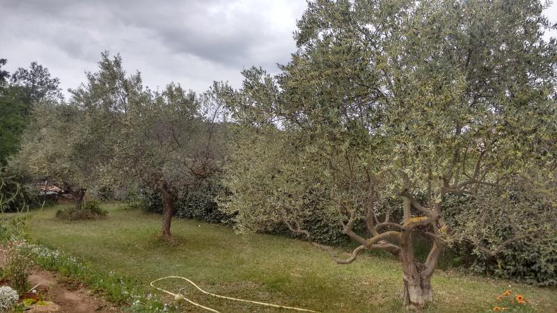 La culture et l'entretien de l'olivier- -Olea Europea - Page 4 Img_2059