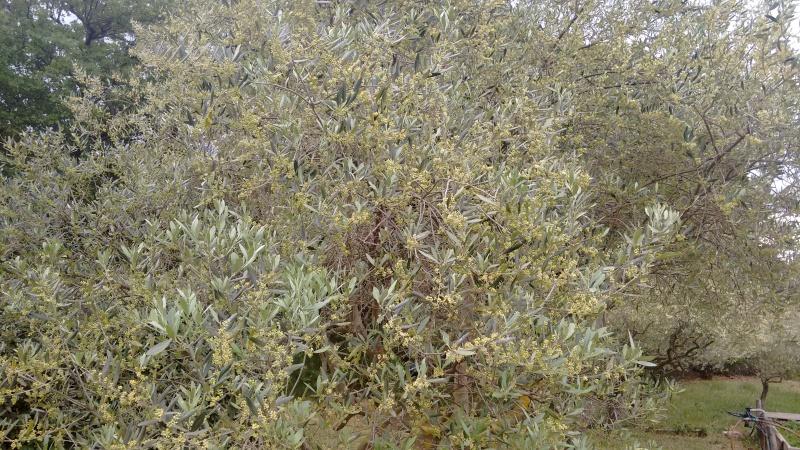 La culture et l'entretien de l'olivier- -Olea Europea - Page 4 Img_2060