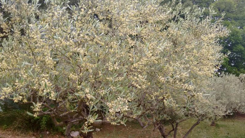 La culture et l'entretien de l'olivier- -Olea Europea - Page 4 Img_2061