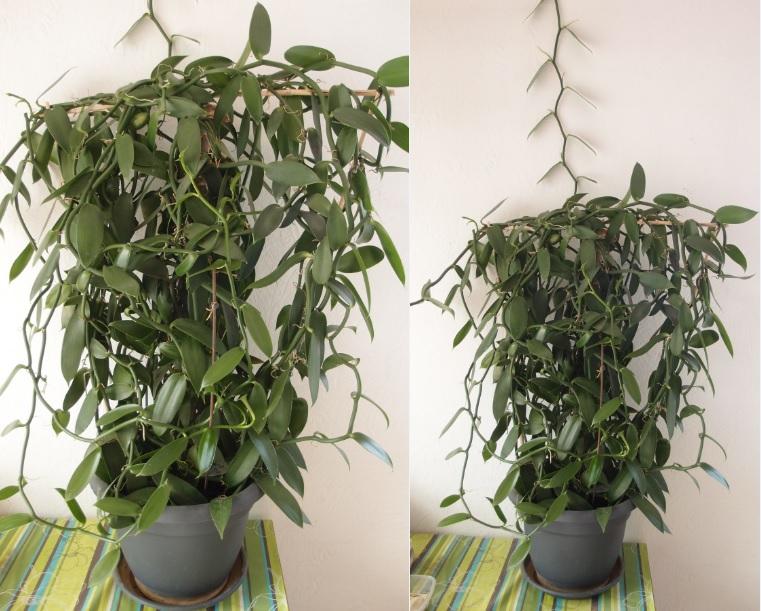 Culture et Entretien de la Vanilla Planifolia - Page 5 Vanill10