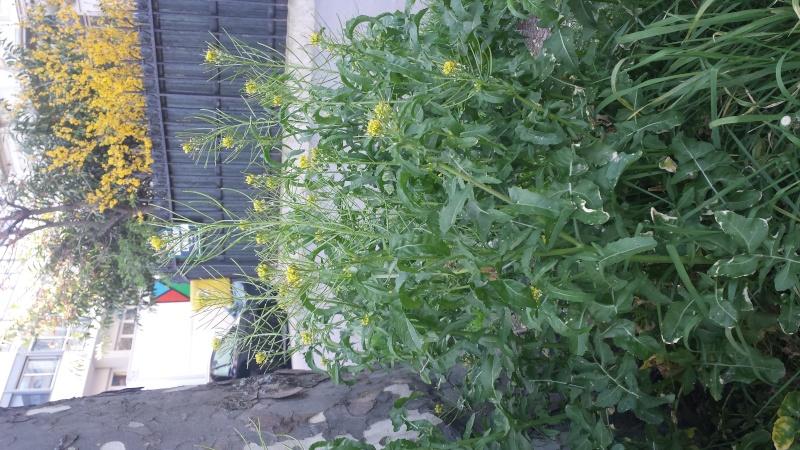 Sisymbre irio (brassica) Aspect12