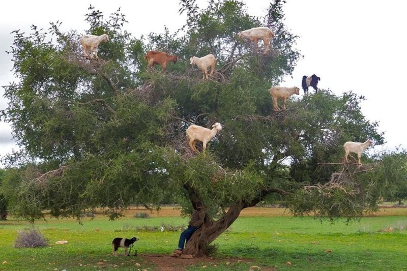 Désherbage mecanique Goats10