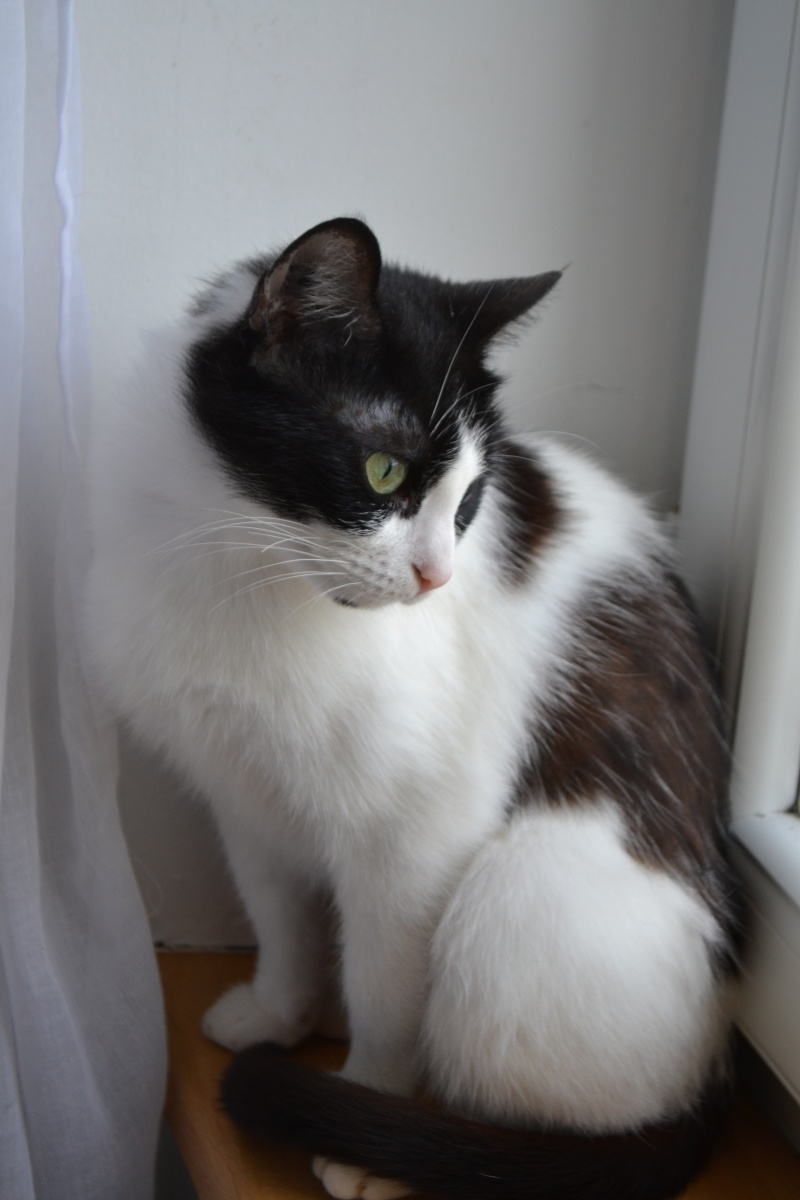 jalla - Jalla, femelle européenne noire et blanche, née le 15/09/2014 1110