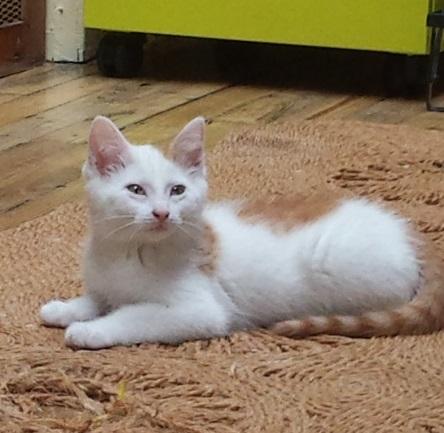 mozart - Mozart, chaton blanc et roux né le 23/03/2016 20160610