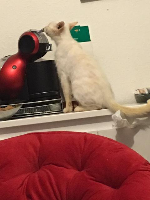 """lancome - Lancôme, jeune chat mâle crème """"red point"""", né en novembre 2015, EN DON LIBRE Img_0511"""