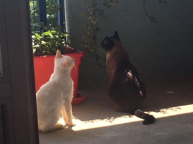 """lancome - Lancôme, jeune chat mâle crème """"red point"""", né en novembre 2015, EN DON LIBRE Img_0514"""