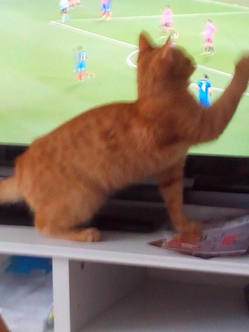 largo - LARGO, chaton européenne tigré roux, né en Novembre 2015 Img_2018